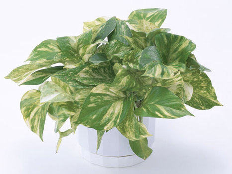 15 Easy Indoor House Plants That Won't Die On You | Gardening Life | Scoop.it