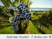 Vignes, vins et randos en Pays de la Loire - Ouverture-voyage.fr | Ma Cave En France | Scoop.it