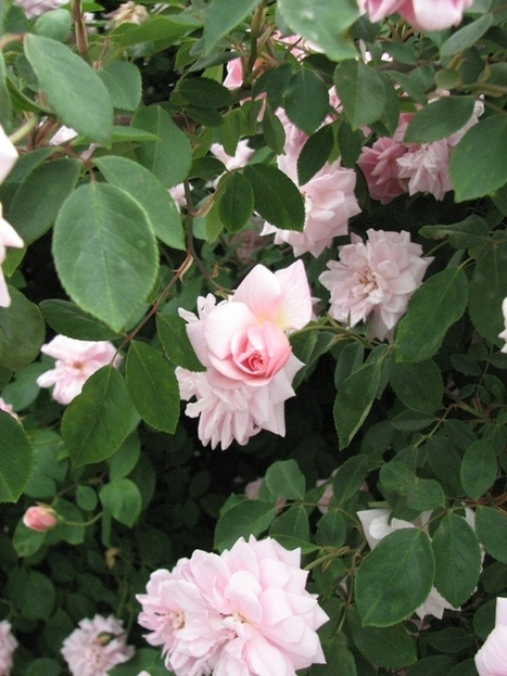 Rose Petals and Rust: Miss Cecil Brunner....   Annie Haven   Haven Brand   Scoop.it