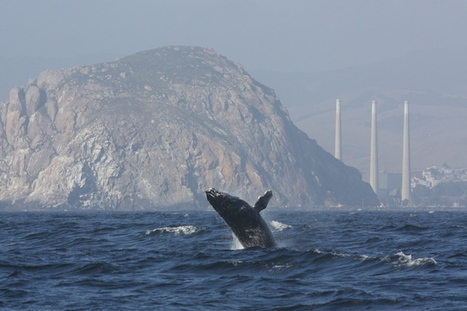 Too much noise in the ocean for whales' sensitive ears   Environment   Scoop.it