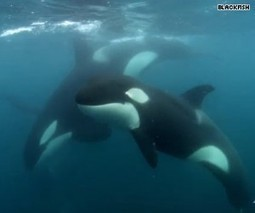 Beyond Blackfish: JVM investigates -- Killing - HLNtv.com   Animals in captivity - Zoo, circus, marine park, etc..   Scoop.it