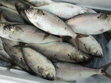 Ocean Facts: What makes fish smell? | LibertyE Global Renaissance | Scoop.it