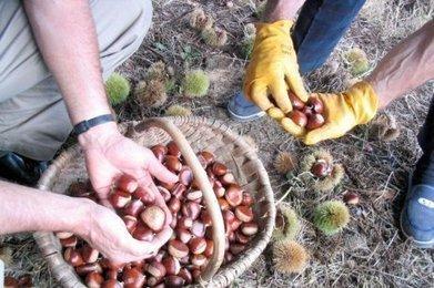 La saison de la châtaigne en Dordogne   Agriculture en Dordogne   Scoop.it