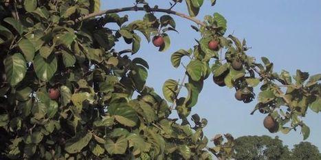 Un arbre africain sécrète un antidouleur | Ca m'interpelle... | Scoop.it