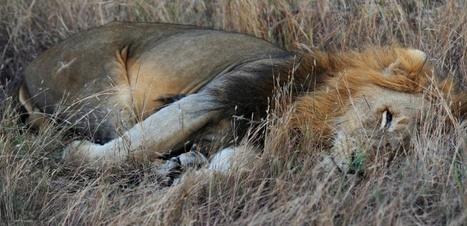 Hécatombe au parc Kruger, où les animaux meurent empoisonnés par les braconniers | Actualités Sciences | Scoop.it