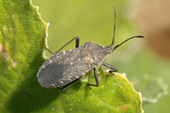 Watch for Squash bugs in  the garden | Vegetable Gardening Resources | Scoop.it