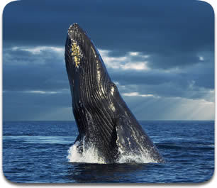 Whale.FM: Where Citizen Science, Whale Songs, and Education Come Together   Share Some Love Today   Scoop.it