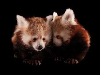 Red Pandas, Lincoln Children's Zoo | Are zoo's cruel to wild animals | Scoop.it