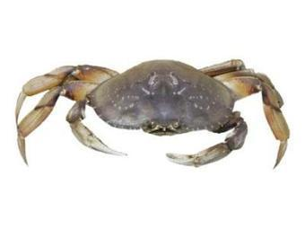 Where Do Dungeness Crabs Come From? | FOOD TECHNOLOGY  NEWS | Scoop.it