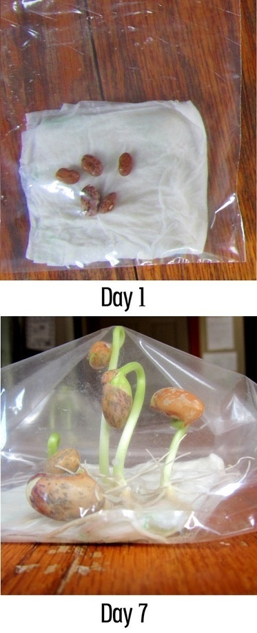 Growing Beans sandwich bag for Kids | Backyard Gardening | Scoop.it