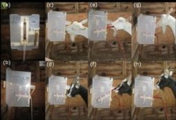 Goats are far more clever than previously thought, and have an excellent memory | This Gives Me Hope | Scoop.it