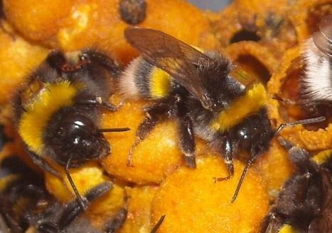 Bee foraging chronically impaired by pesticide exposure, study finds | Sustain Our Earth | Scoop.it