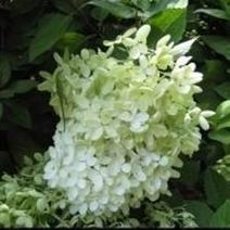 Limelight Hydrangea Or Is It? | Springtime | Scoop.it