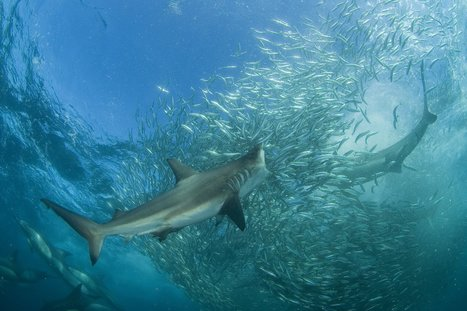 Sharks: feared or revered – but very rarely understood | Common sense | Scoop.it