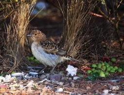 Male bowerbirds grow a garden to attract a mate - life - 23 April 2012 - New Scientist | Polymerase | Scoop.it