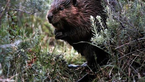 The Beaver Slayers of Patagonia | Teacher Tools and Tips | Scoop.it
