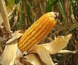 Latest genomic studies shed new light on maize diversity and evolution | Sustain Our Earth | Scoop.it