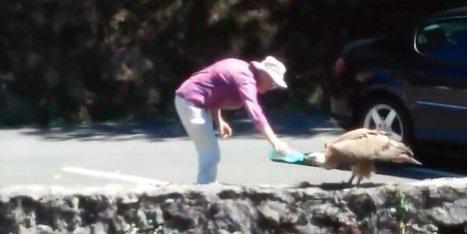 Vidéo. Pays basque : elle donne à boire à un vautour assoiffé | BABinfo Pays Basque | Scoop.it