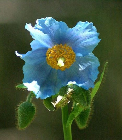 Photo de Fleur : Pavot bleu de l'Himalaya - Meconopsis betonicifolia - Himalayan blue poppy | Faaxaal Forum Photos gratuite Faune et Flore | Scoop.it