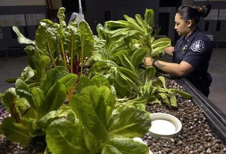 Denver jail sustainably growing food through aquaponics | Right Livelihood: Growing Food | Scoop.it