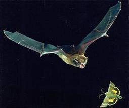 Bats and whales behave in surprisingly similar ways | Sustain Our Earth | Scoop.it