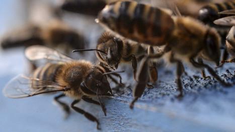 Plus d'un million d'abeilles périssent dans un accident de la route | Chronique d'un pays où il ne se passe rien... ou presque ! | Scoop.it
