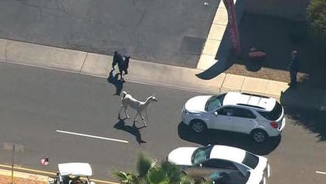 Llama drama prompts police chase outside Phoenix | INTRODUCTION TO THE SOCIAL SCIENCES DIGITAL TEXTBOOK(PSYCHOLOGY-ECONOMICS-SOCIOLOGY):MIKE BUSARELLO | Scoop.it