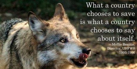 petition: Demand that Norway stop killing off endangered Wolves, Now !   The Arctic Circle   Scoop.it