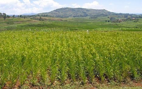 Madagascar : Le riz produit localement pointé du doigt pour son manque en fer et en zinc | Ny Rado Rafalimanana - Madagascar | Scoop.it