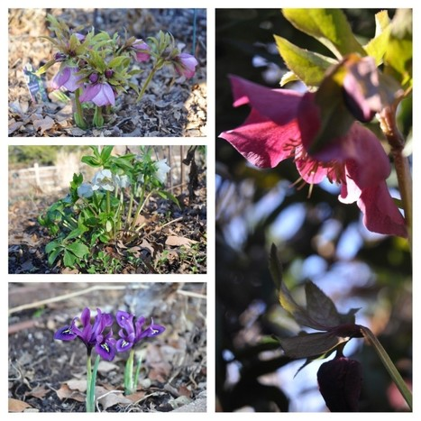 Garden Bloggers Bloom Day February 2013 - Red Dirt Ramblings®   Annie Haven   Haven Brand   Scoop.it