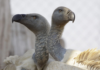 What's happening to all the vultures? | YOUR FOOD, YOUR HEALTH: Latest on BiotechFood, GMOs, Pesticides, Chemicals, CAFOs, Industrial Food | Scoop.it
