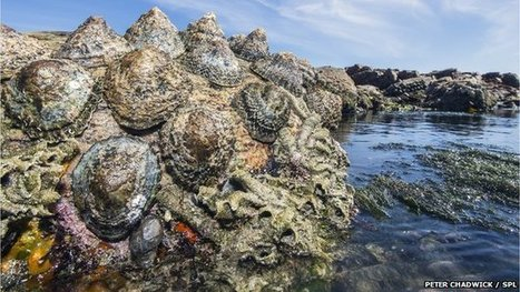 Limpet Teeth Set New Strength Record | Biomimicry | Scoop.it