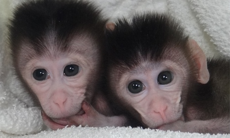 Genetically modified monkeys created with cut-and-paste DNA | National Centre for the 3Rs in the news | Scoop.it