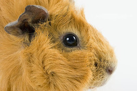 Guinea Pig Food: Guinea Pigs: The Tiny Creatures With Huge Personalities | Guinea Pigs | Scoop.it