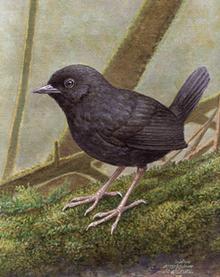 New bird species discovered in Peruvian cloud forest | Freefire Nature | Scoop.it