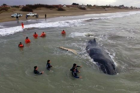 Une baleine échouée depuis 24heures secourue avec succès | Zones humides - Ramsar - Océans | Scoop.it
