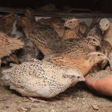 Lessons from the quail farming boom and bust | ... | farming | Scoop.it