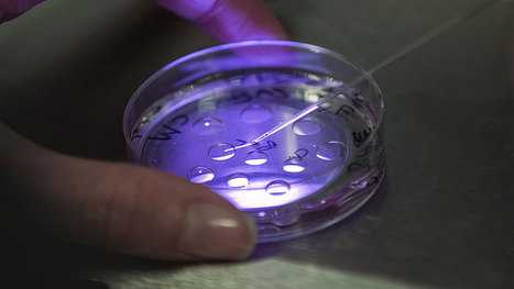 IVF technique could be simpler, scientists say - Health - CBC News | 850th Anniversary of Hotel-Dieu of Paris - World Hospital History | Scoop.it