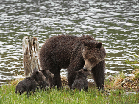 Winter Is Coming. And Bears Know It. | Oceans and Wildlife | Scoop.it