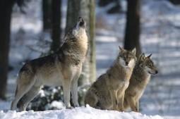 Dites non au tir de 36 loups et à la chasse en battue | FERUS | Scoop des Histoires Naturelles | Scoop.it