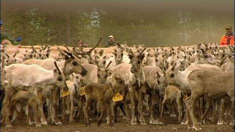 Reality show about reindeer herders? | Finland | Scoop.it
