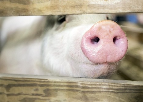 BBSRC Briefing: Move over Dolly the sheep, here's the genetically engineered pig that could bring home thebacon | BIOSCIENCE NEWS | Scoop.it