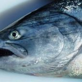 Researcher lays out three major possibilities for Alaska king salmon crash - Alaska Dispatch | Fishing Products and News | Scoop.it