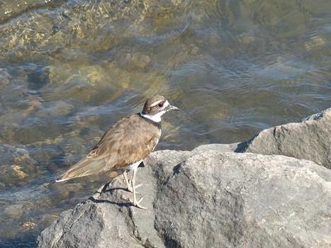 Photos d'oiseaux : Pluvier kildir - Charadrius vociferus - Killdeer | Fauna Free Pics - Public Domain - Photos gratuites d'animaux | Scoop.it