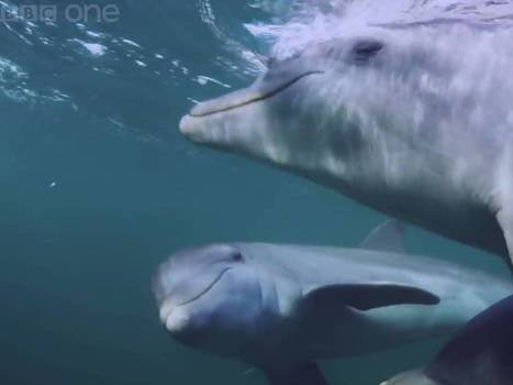 #Dolphins 'deliberately get high' on puffer fish nerve toxins by carefully chewing and passing them around   Limitless learning Universe   Scoop.it