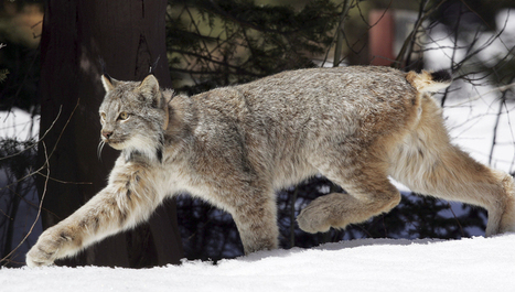 Threatened Canada lynx may be on rise in Vermont's Northeast Kingdom (12/28/13 12:08 pm) | Conservation Biology, Genetics and Ecology | Scoop.it