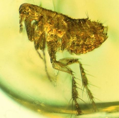 Flea fossil may hold ancestor of bubonic plague   Geology   Scoop.it