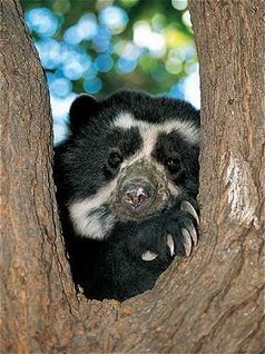 Spectacled Bears - Bears Of The World   South America and Africa   Scoop.it
