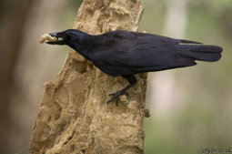 Smarter than a first-grader? Caledonian crows can perform as well as 7- to 10-year-olds on cause-and-effect water displacement tasks | Amazing Science | Scoop.it