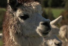 Alpaca antibodies - ABC Online | Stuff with wool | Scoop.it